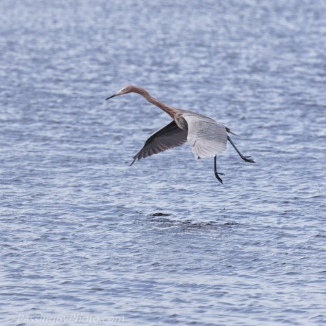 Reddish Egret Dance Moves