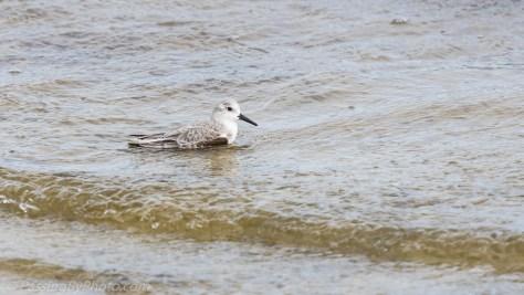 Sanderling in the Surf