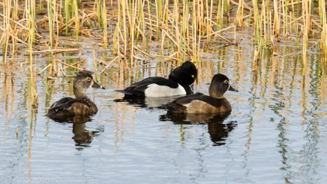 Ring-necked Duck Family