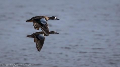 Blue-winged Teal Pair in Flight