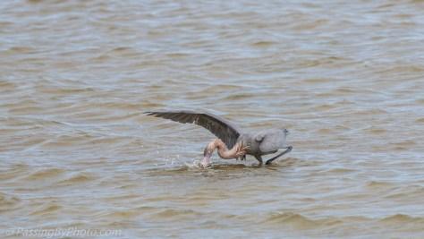 Reddish Egret Fishing