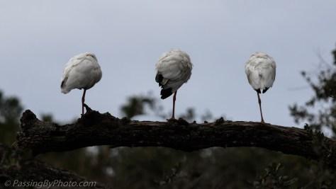 Three White Ibis in a Row