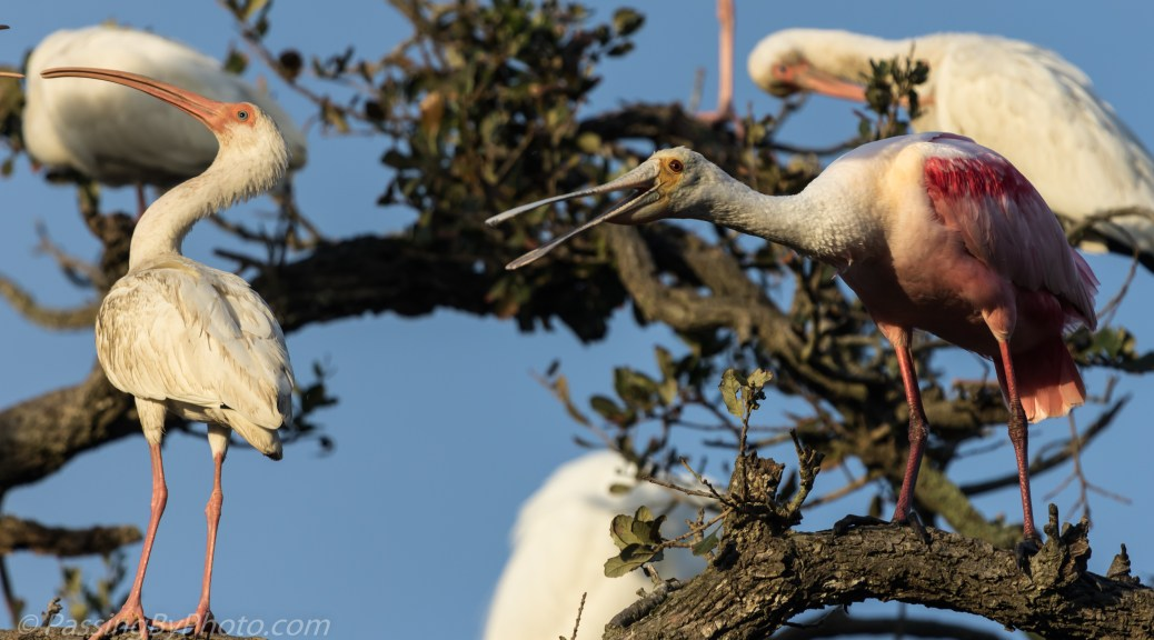 White Ibis and Roseate Spoonbill