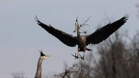 Great Blue Herons Stick Exchange