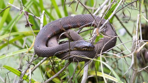 Rat Snake Perched in Twigs