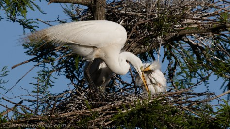 Great Egret and Chicks
