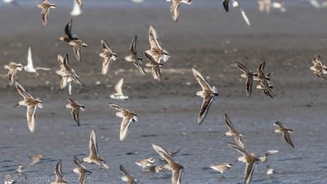 Flock of Shore Birds