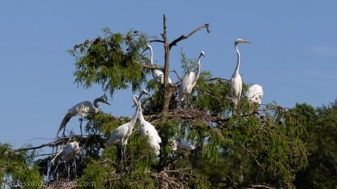 Tree Full of Great Egret Chicks