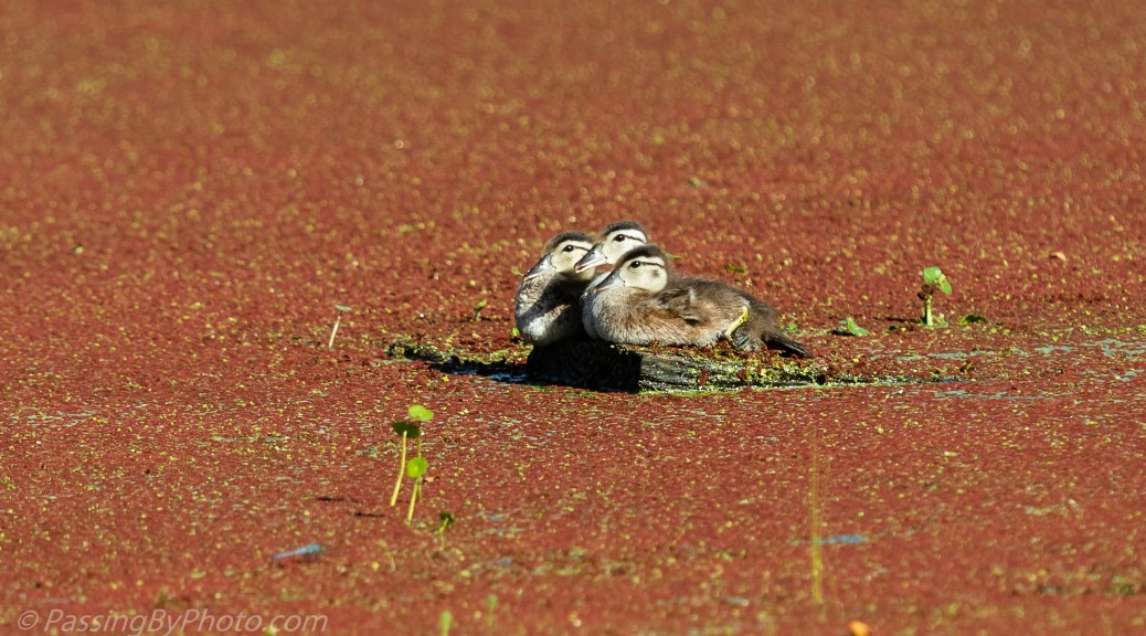 Three Wood Duck Ducklings