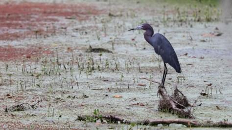 Little Blue Heron Posing on Stick