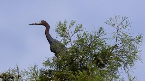 Little Blue Heron Posing in Tree