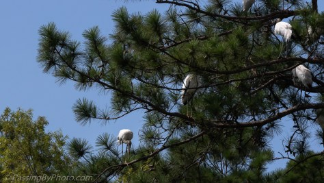Wood Storks in Pine Tree