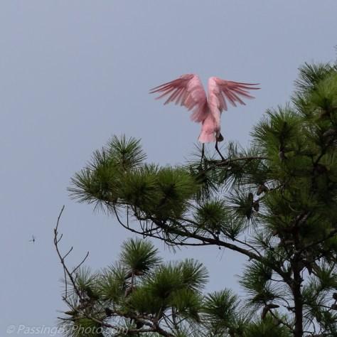 Roseate Spoonbill Landing in Treetop