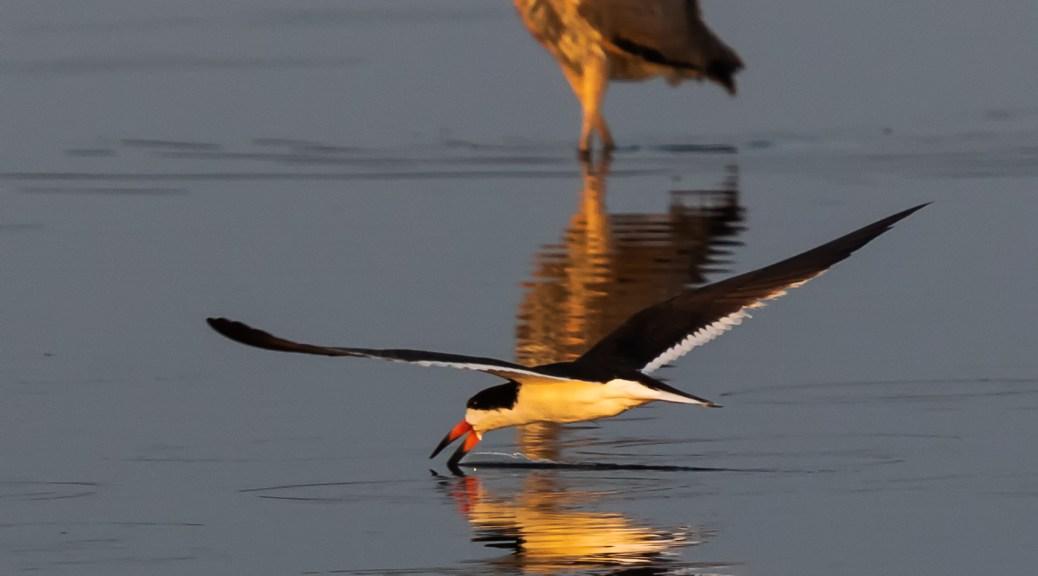 Black Skimmer and Great Blue Heron