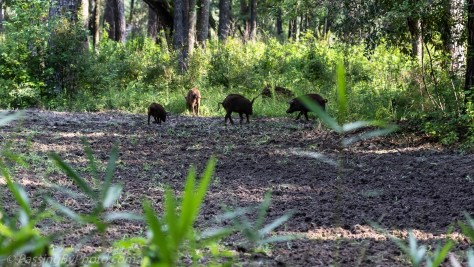 Wild Pigs Disappearing into Woods