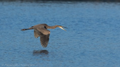Great Blue Heron Flying over Pond