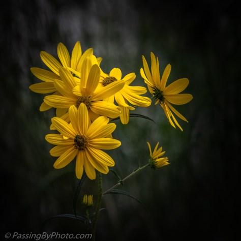 Swamp Sunflowers, Helianthus angustifolius