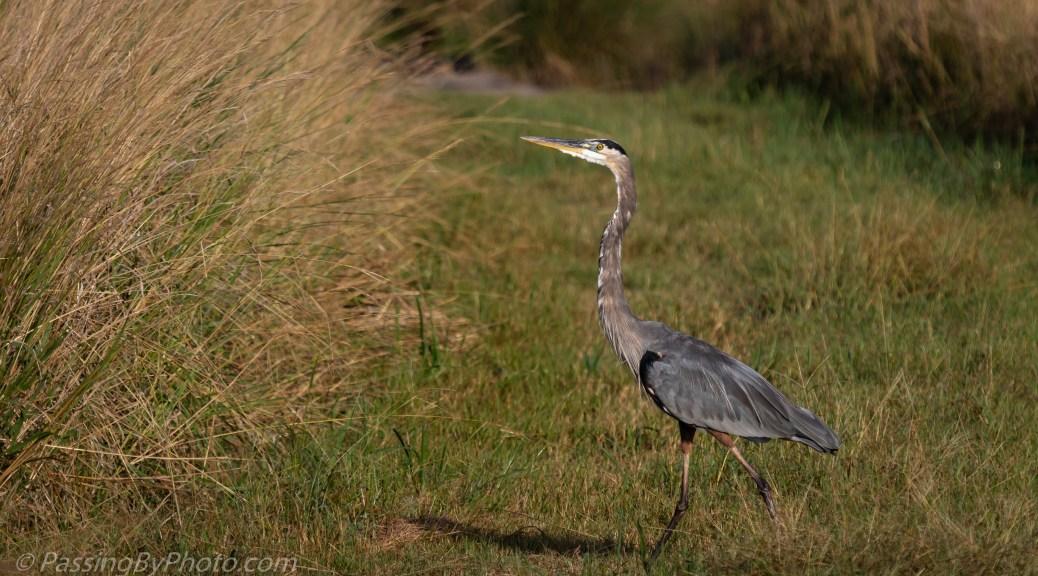 Great Blue Heron Walking