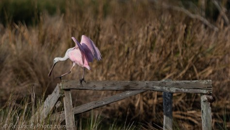 Roseate Spoonbill Walking Beam