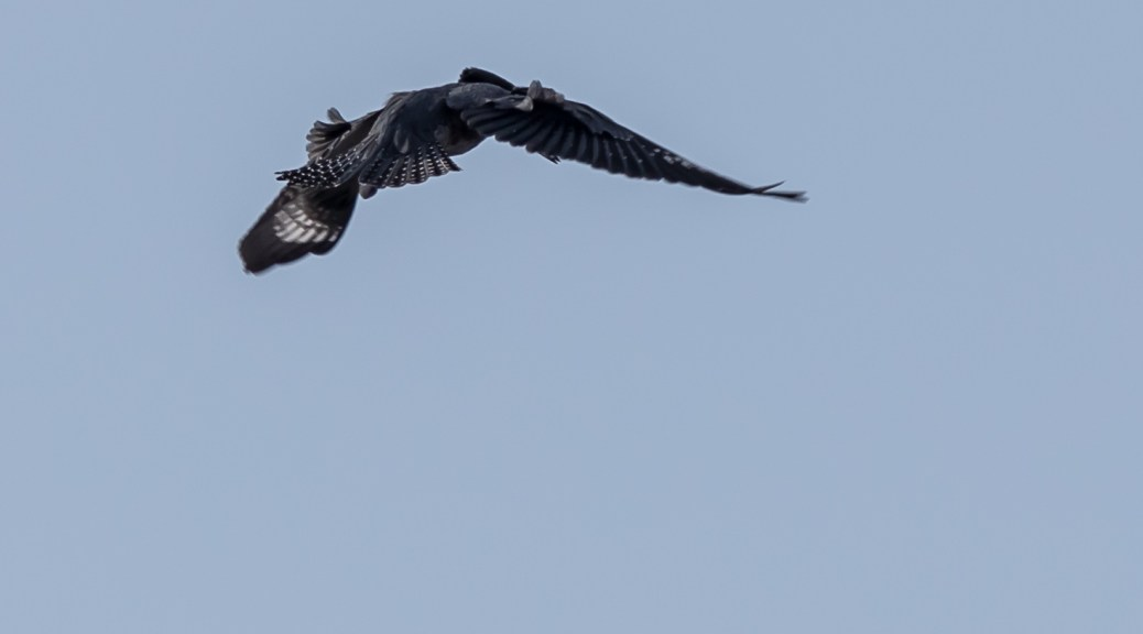 Belted Kingfisher Hovering