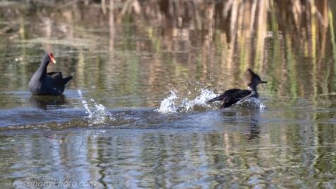 Hooded Merganser and Gallinules