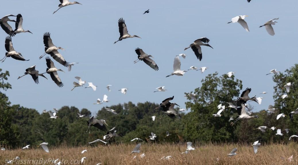 Wading Birds in Flight