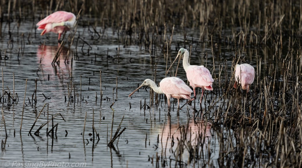 Roseate Spoonbills in Marsh
