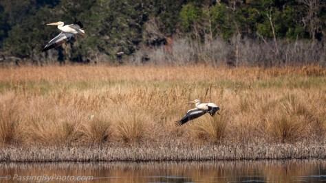 American White Pelicans Over Marsh