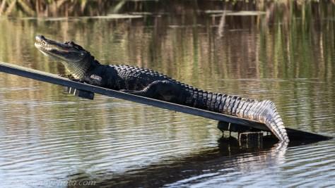 Alligator on Platform