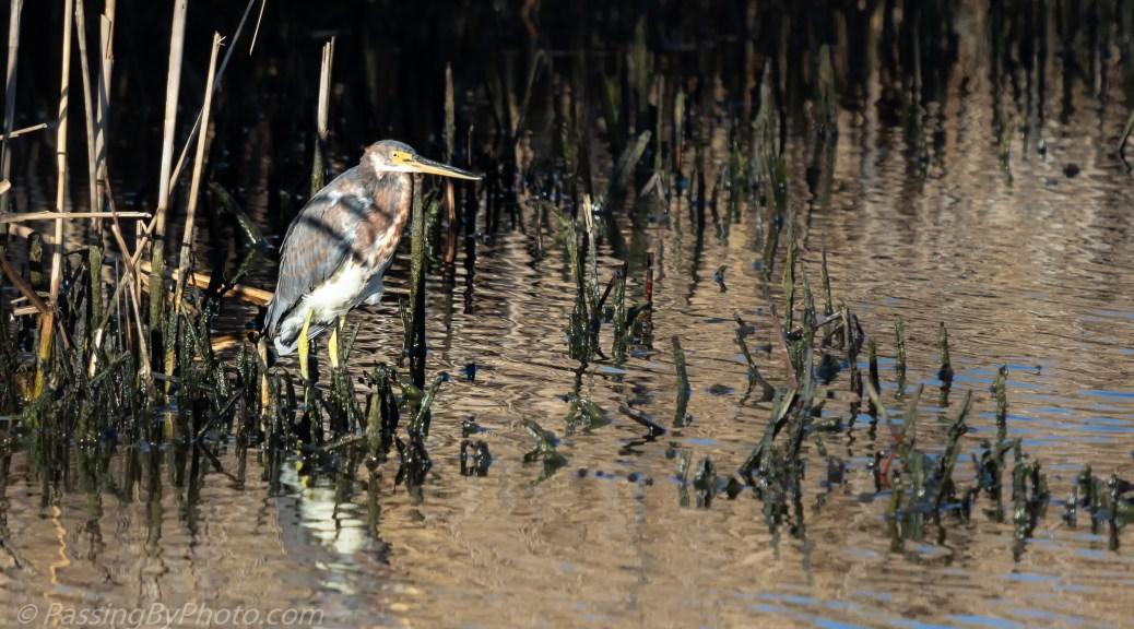 Tricorlored Heron