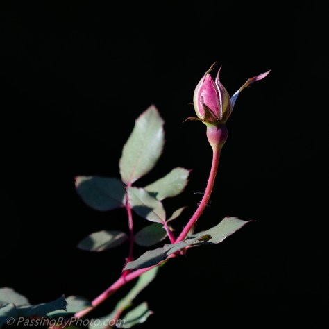 Rose bud reaching for the sun