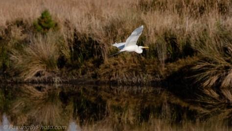 Great Egret Flying Over Pond