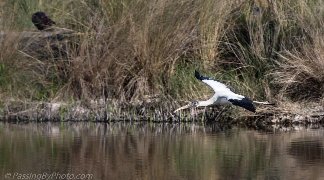 Wood Stork Flying Over Pond