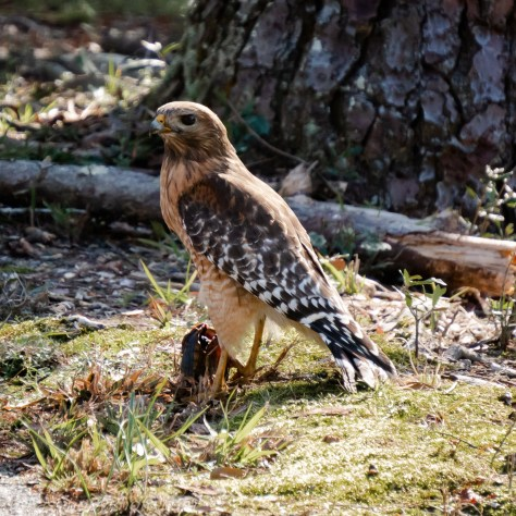 Red-shouldered Hawk with Turtle