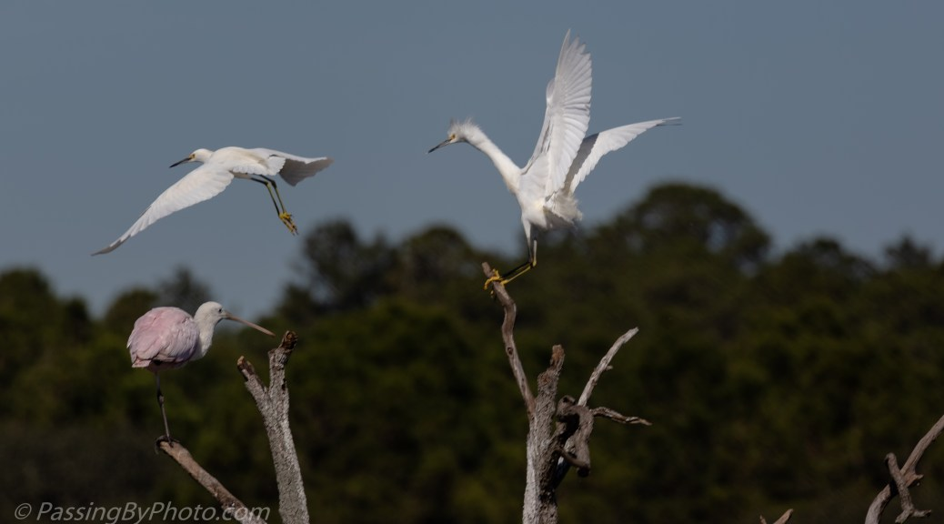 Spoonbill and Snowy Egrets