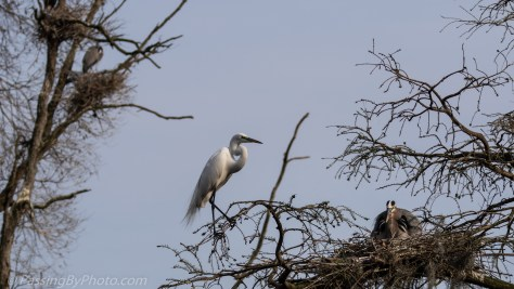 Great Blue Heron Laying on Nest, Great Egret Watching