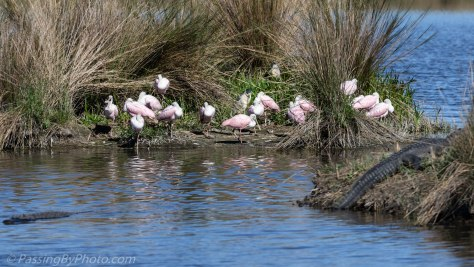 Alligator and Spoonbills