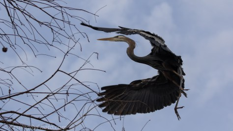 Great Blue Heron Flying Into Tree