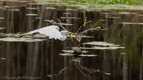 Great Egret Flying Over Turtle