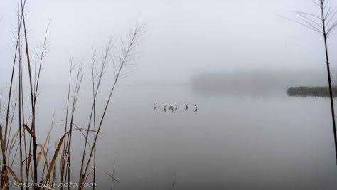 Roseate Spoonbills in the Fog