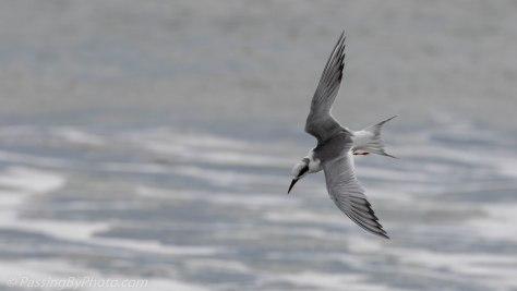 Forster's Tern Fishing