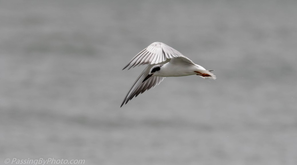 Forster's Tern Fishing