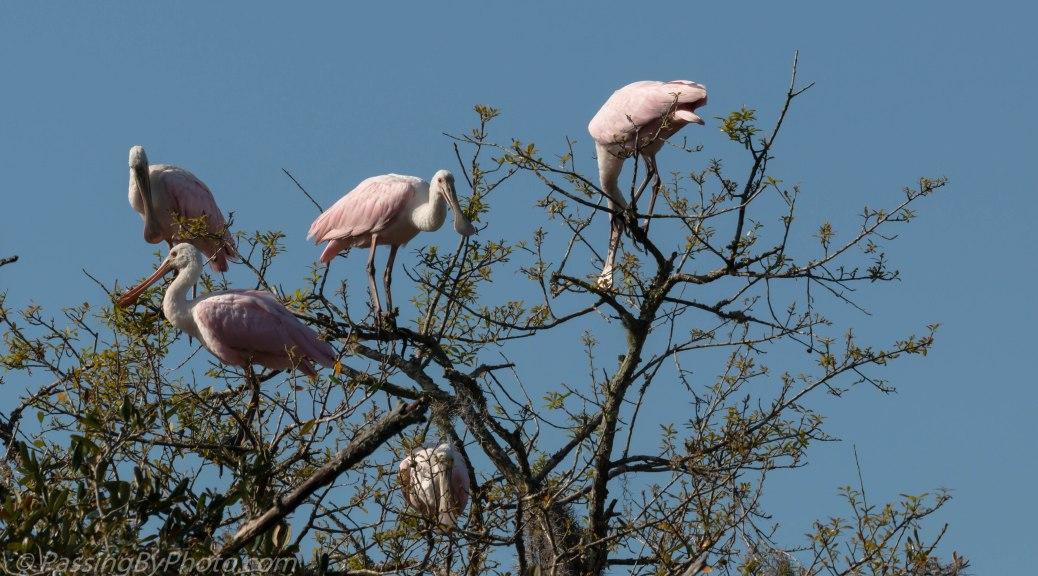 Treetop Roseate Spoonbills