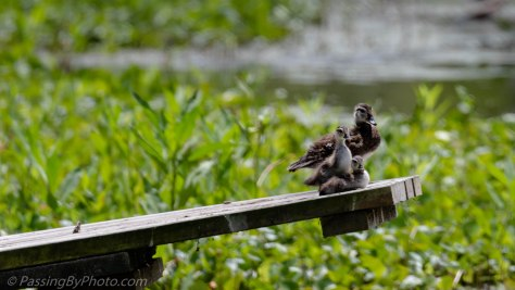 Female Wood Duck with Two Ducklings