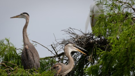 Great Blue Heron Chicks May 5