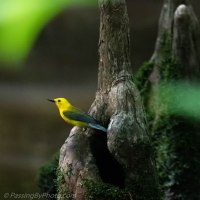 Prothonotary Warbler on Knee