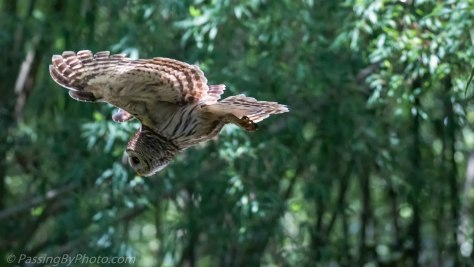 Barred Owl Diving