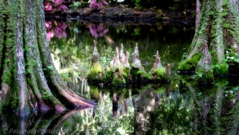 Cypress Knees and Reflections in Pond