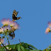 Butterfly on Mimosa Tree