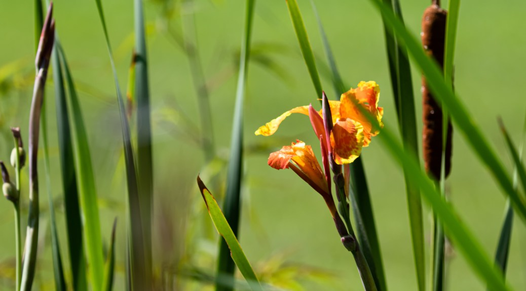 Orange Canna Lily with Cattails